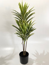 Dragon Tree - 65cm