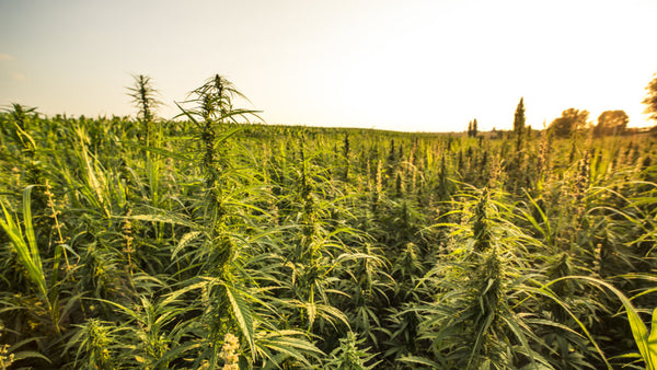 Senators Request the FDA Revise 'Outdated' Regulation on Hemp, CBD