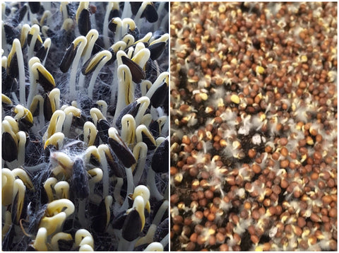 Microgreen Mold vs Root Hairs