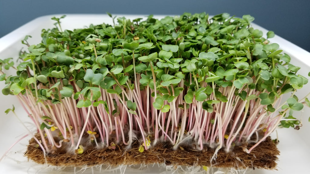 China Rose Radish Microgreens - Long Island Microgreens