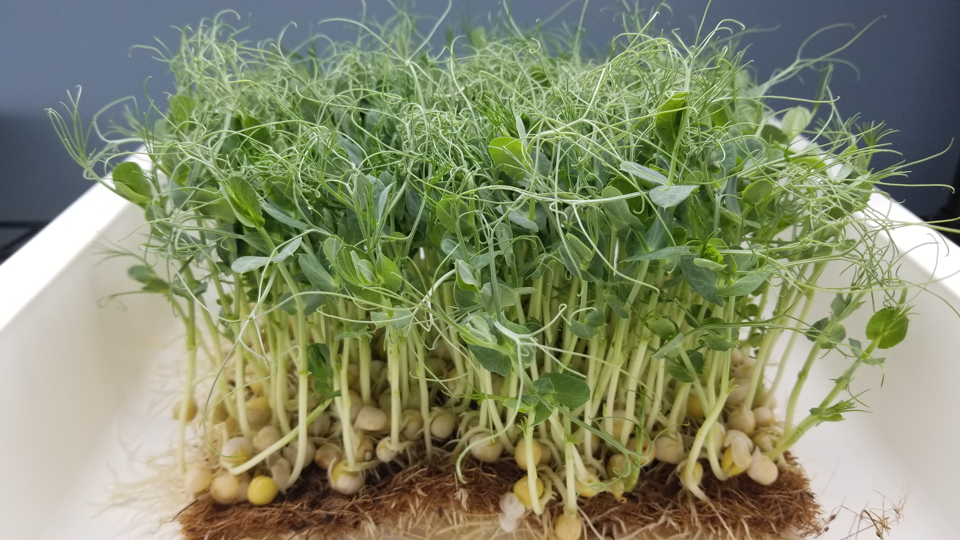 Green Pea Tendril Microgreens - Long Island Microgreens