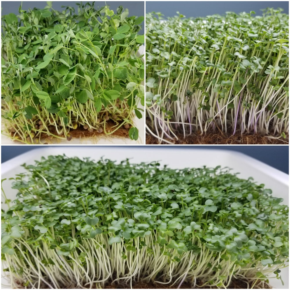 Microgreens Family Pack - Long Island Microgreens