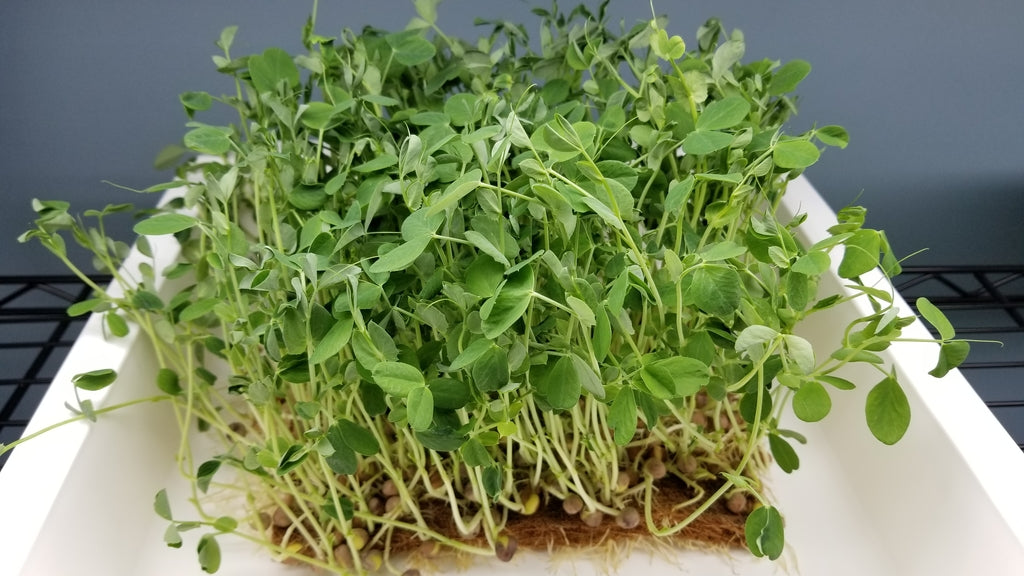 Microgreens Family Pack - Pre-Order - Long Island Microgreens