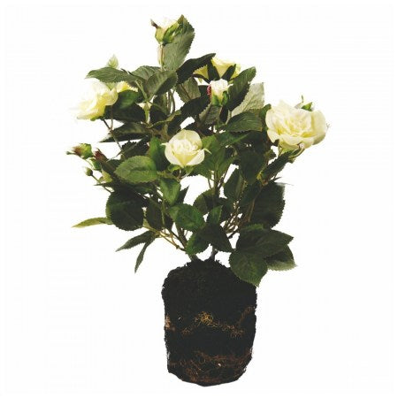 ROSE BUSH WITH SOIL SÌA