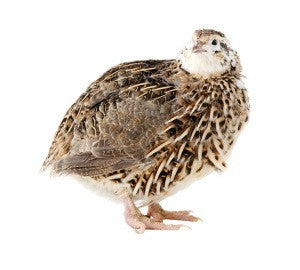 ADULT QUAIL 1 PACK (FROZEN)