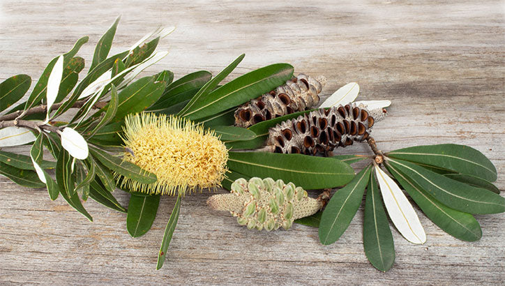 Banksia Grandis from Western Australia