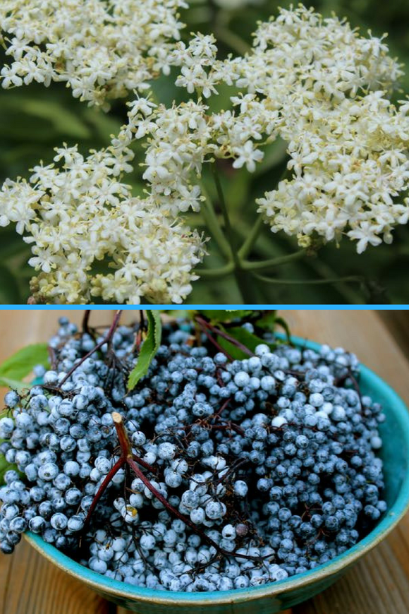 Plant Ally for Back-to-School Time: Elderberry
