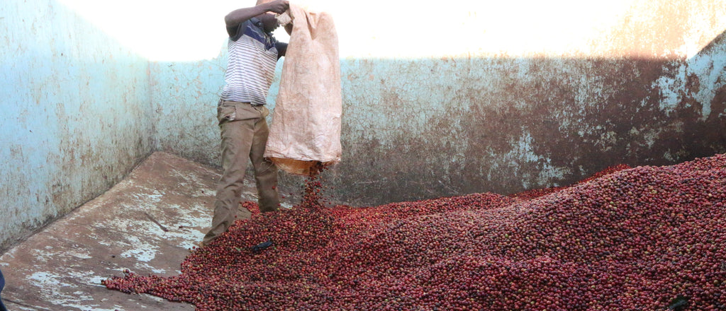 ORIGIN: KENYA  the showcase coffees of the coffee industry