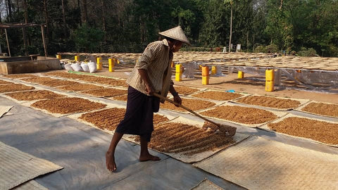 myanmar-coffee-drying-ngu-shweli-estate-farm