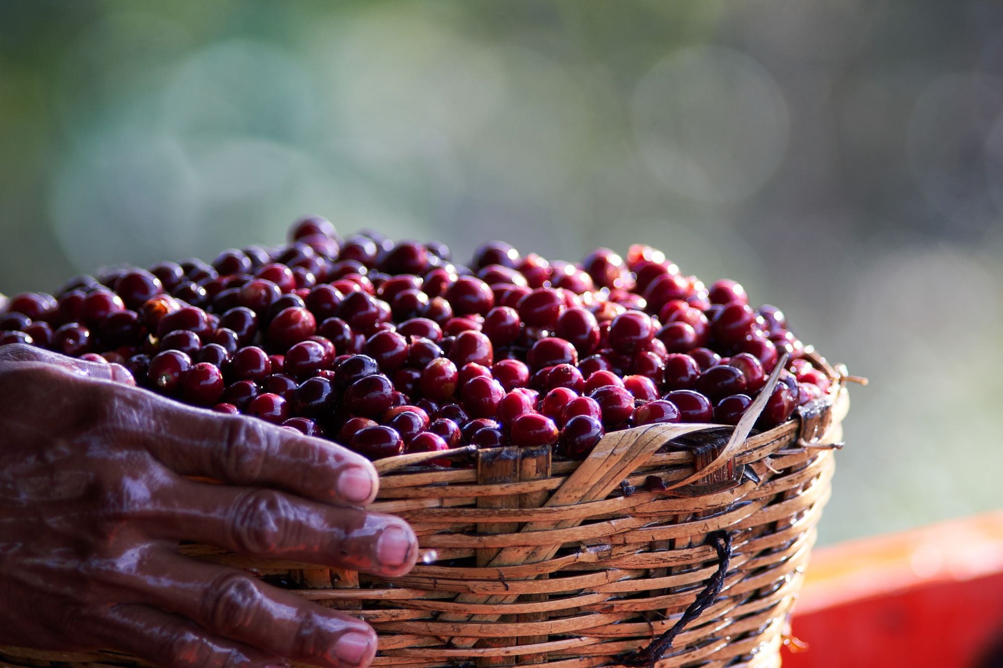 coffee cherries in basket, hand holding basket, close up