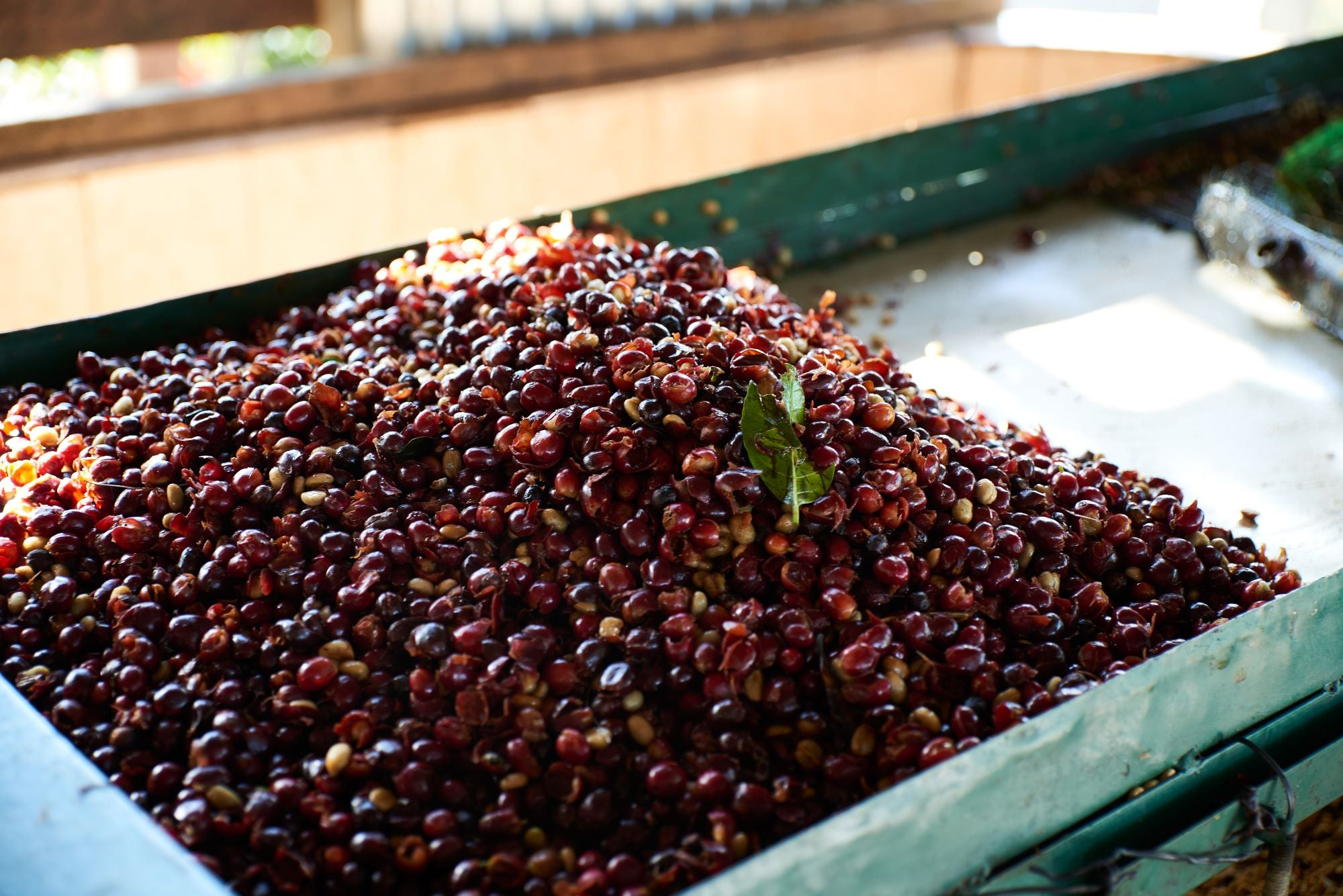 Cafetos de Segovia coffee micromill, Nicaragua, red coffee cherries in container
