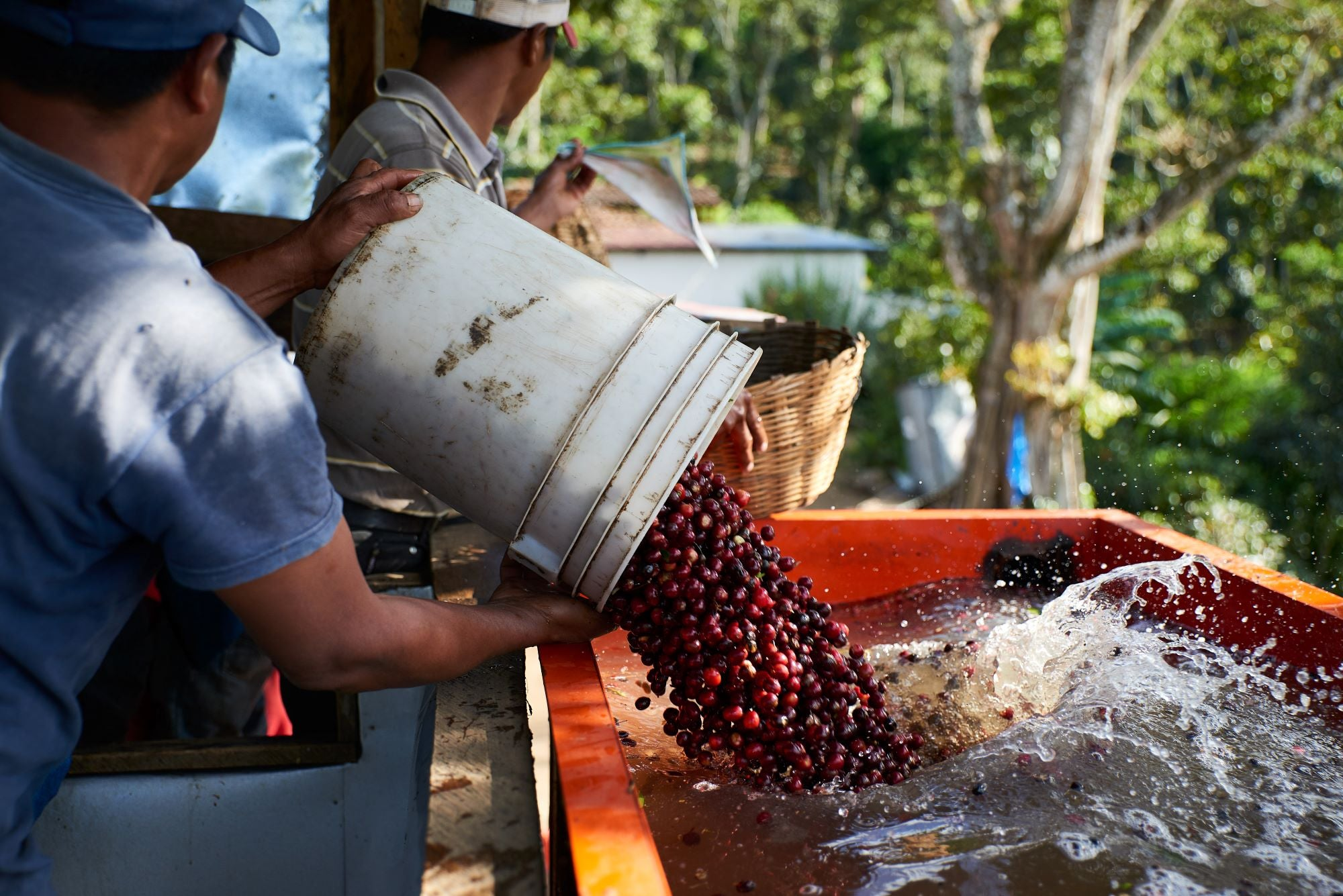 Cafetos De Segovia, Nicaragua, coffee farm, men emptying red coffee cherries into the water mill
