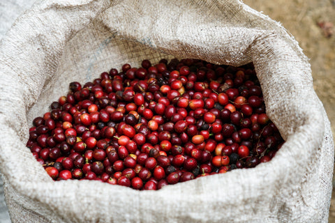 coffee cherries in hessian sack, harvest, coffee, tanzania