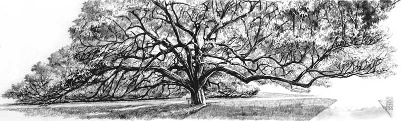 Texas A&M University - The Century Tree Pencil - Print - Benjamin Knox Fine Art Gallery