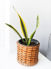 Baby Susan (Sansevieria) - PlantMe Chile