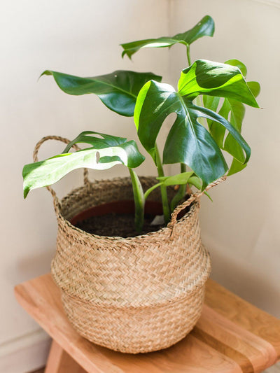 Mariana L (Philodendron Monstera) - PlantMe Chile