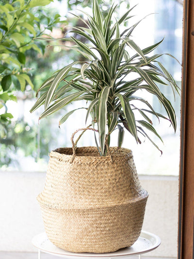 Woody (Dracena Warneckii) - PlantMe Chile