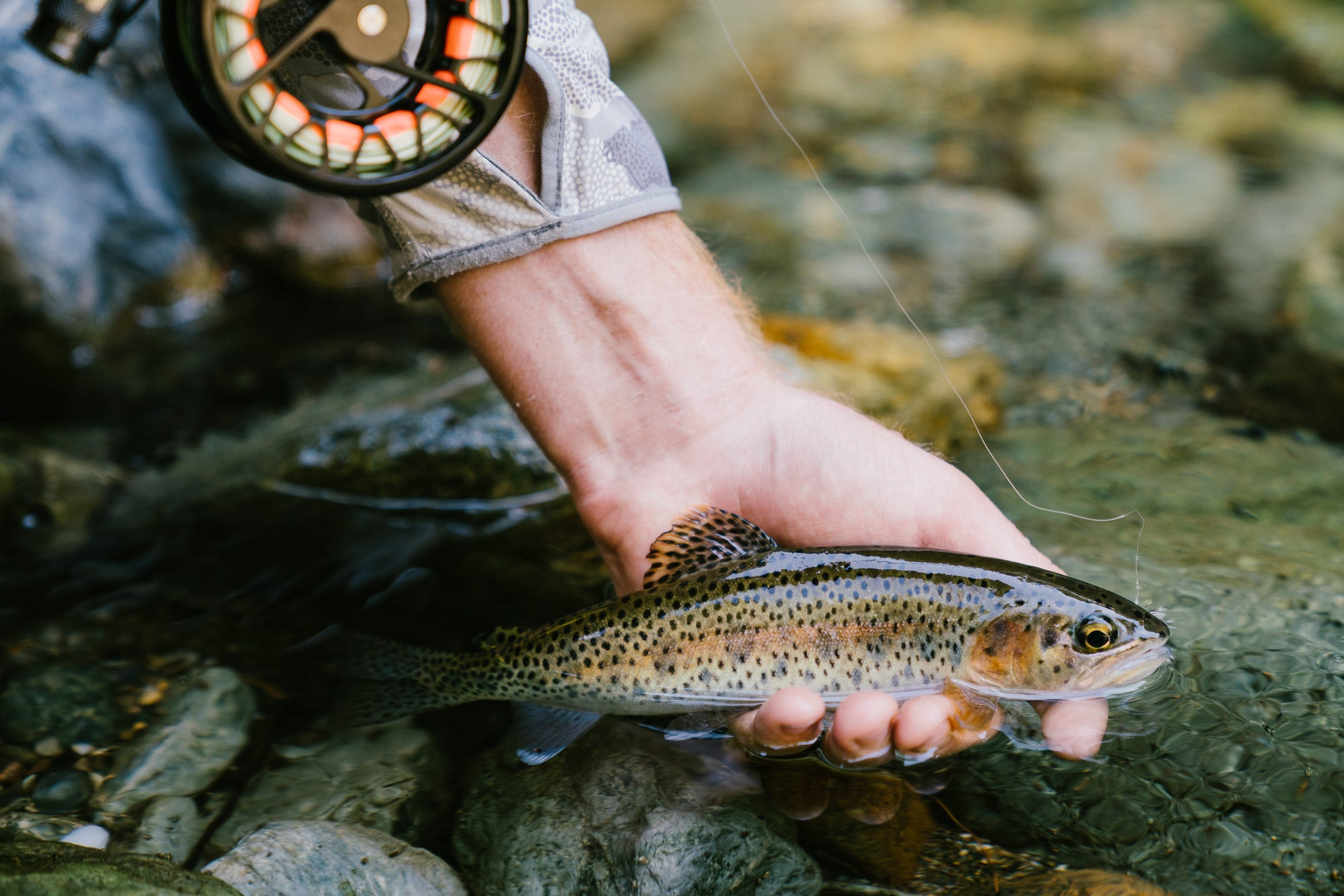 Rainbow Trout in the Hand of Fly Fisher