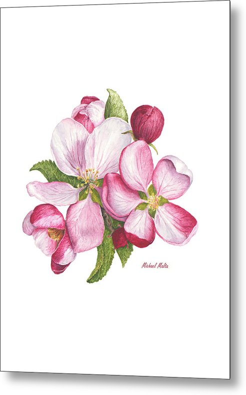 Apple Blossoms - Metal Print