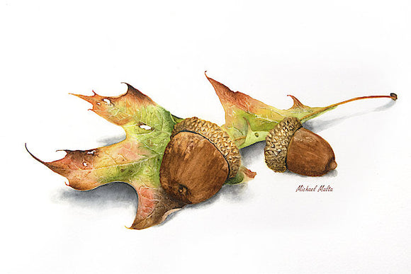Autumn Oak And Acorns - Art Print