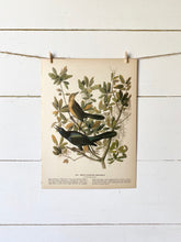 Load image into Gallery viewer, 187-188 Audubon Print