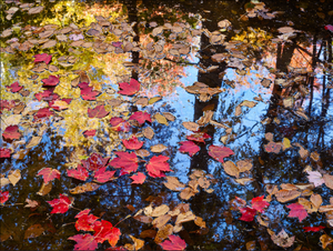 steven friedman's natural light photograph autumn leaves on the water with reflections of trees