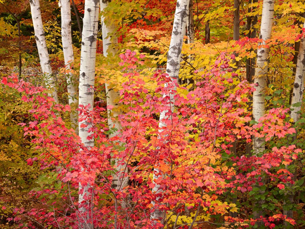 """Birch And Crimson Maple"""