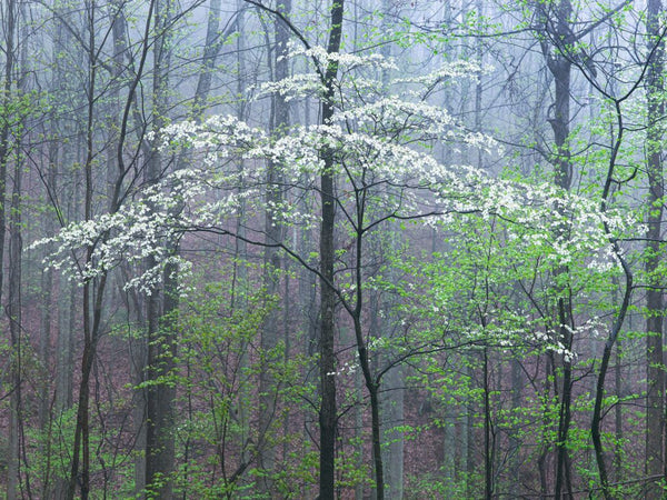 """Dogwood In Fog"""