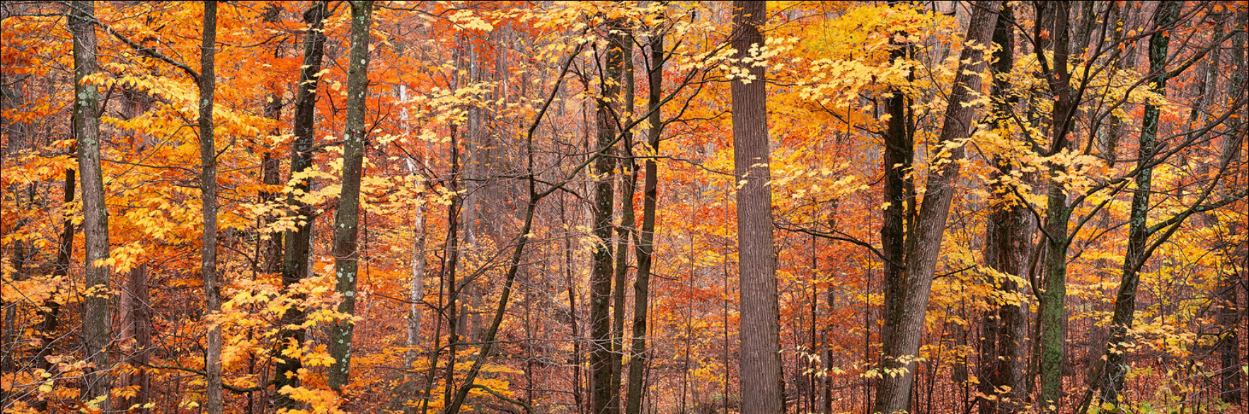 """Golden Autumn Leaves, Gatineau Park"""