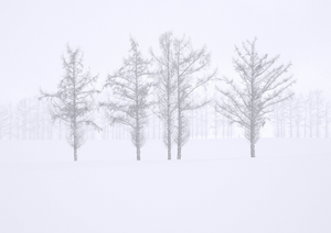 """Larch Trees in Winter Snowstorm"""