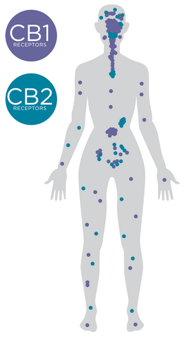 Human Body Endocannabinoid system CB1 and CB2 receptors