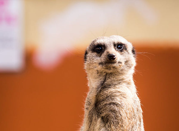 Introducing Meerkat