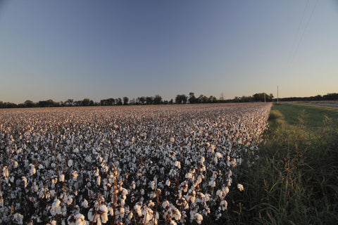 Cotton Field - brutal on the environment