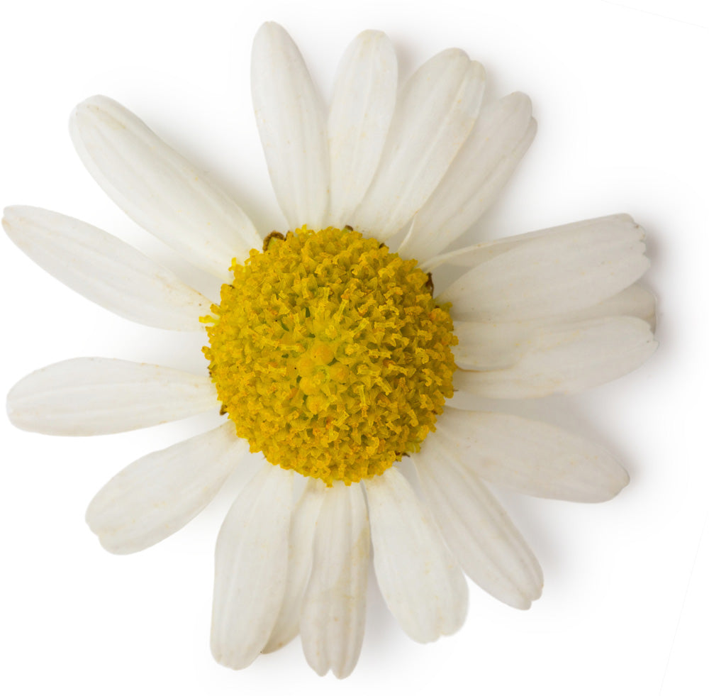 Dried German Chamomile Flower