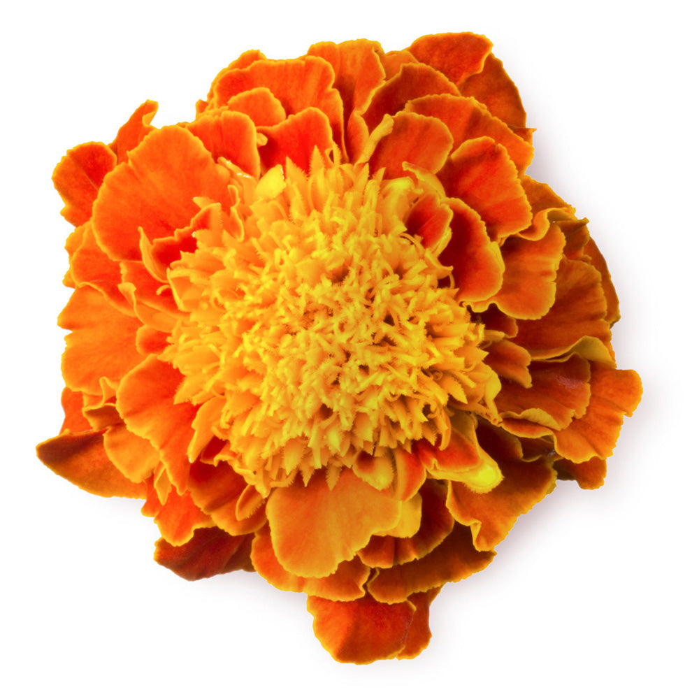 African Marigold Oil