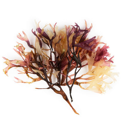 Irish Moss Infusion