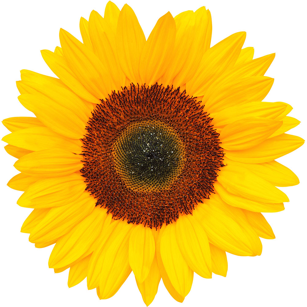 Sunflower Petal Extract