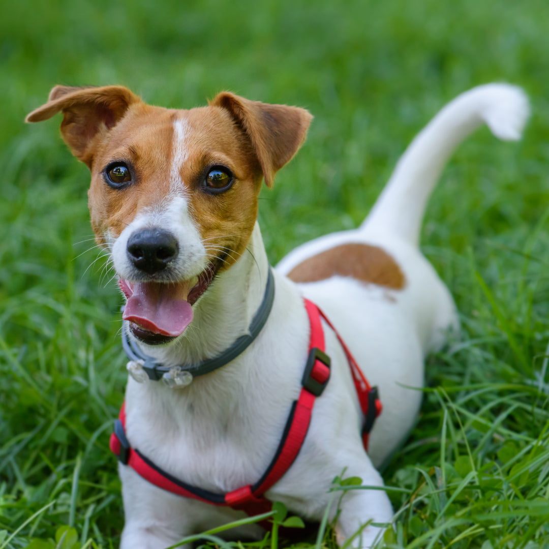 Dog Harness Vs. Collar: Which Is Better for Dogs Health?