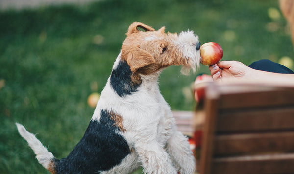 The benefits of feeding your dog apples