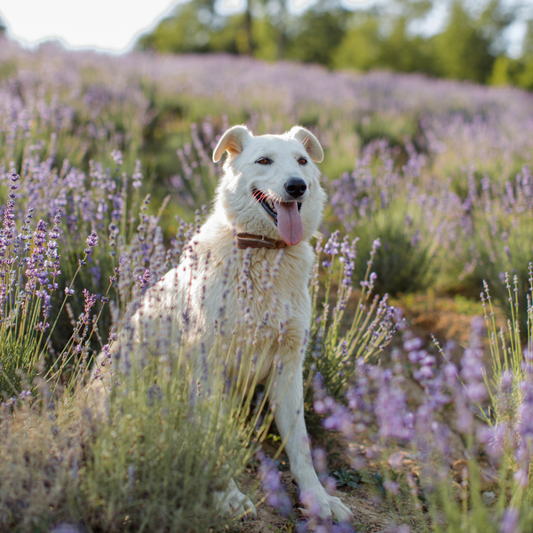 A dog sits in a field surrounded by lavender