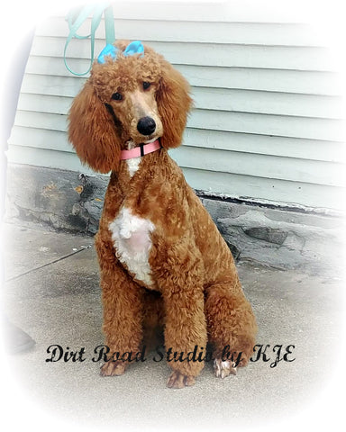 Red Tuxedo Standard Poodle for adoption