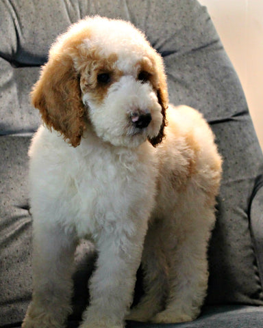 AKC Standard Poodle Puppies ready for adoption – Dirt Road Studio by KJE