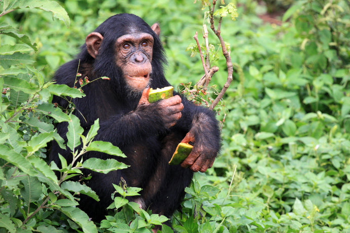 Chimpanzees, Wildlife, & Beaches