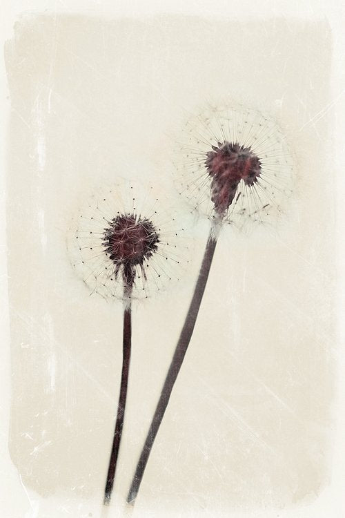 Dandelion heart - limited edition print