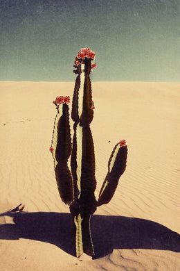 Cactus bloom - Limited Edition Fine Art