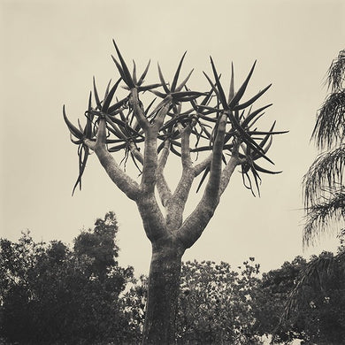 Palm South Africa - Limited Edition Fine Art print