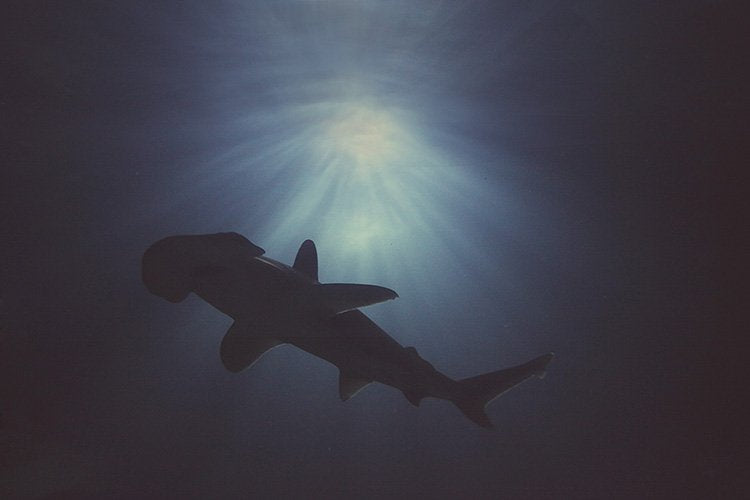 Hammerhead Above - Limited Edition Fine Art print