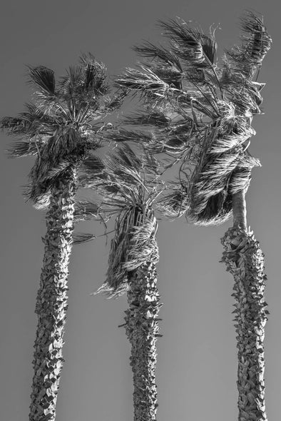 Palm Trees by Will Pierce