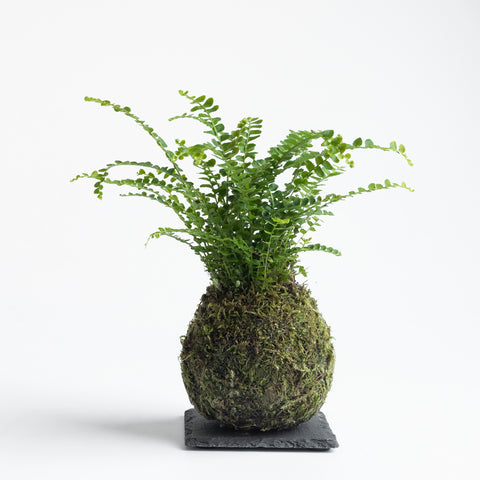 Lemon Button Fern Kokedama