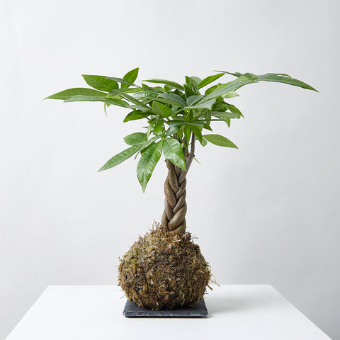 Braided Money Tree Kokedama